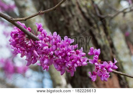 A colorful cluster of redbud blooms stand out against the blurred tree background on a spring day