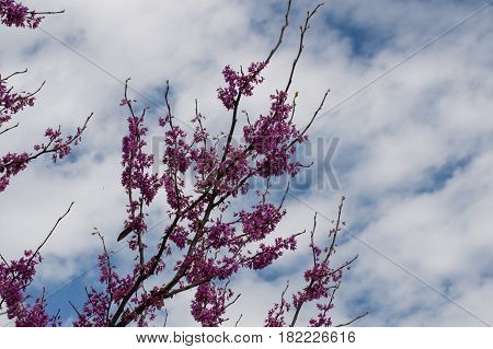 A redbud tree in bloom against a beautiful blue and white sky background