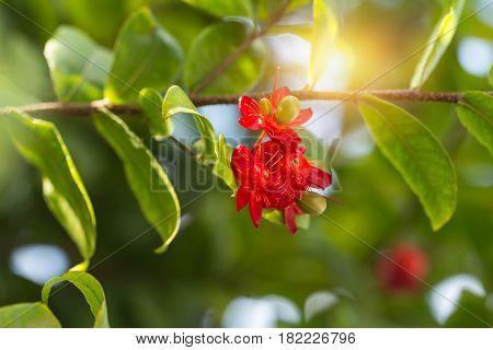 Ochna Kirkii Plant Or Mickey Mouse Flower On The Tree