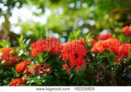 Close up red Rubiaceae flowers Ixora flower Red flower spike in a green garden blurred bokeh background