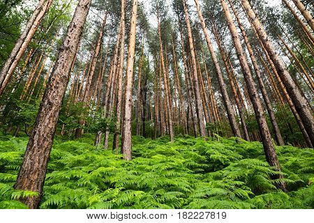 Scenic background of fresh lush green spring ferns growing in a pine forest of tall straight trees viewed looking up into the canopy
