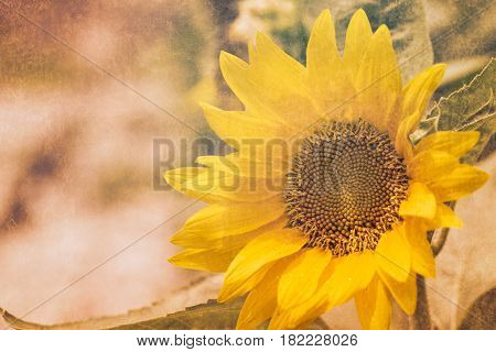 Retro Sunflower Yellow Flower With Dirty Texture Filter Color Tone Vintage Style Postcard Background