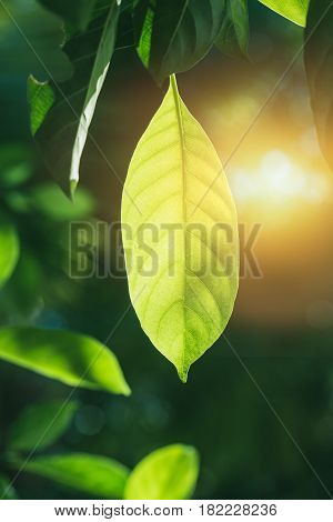 nature photosynthesis of chlorophyll in green leaf