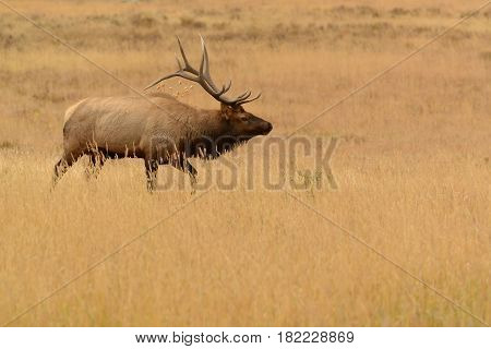 Bull elk with huge antlers in golden meadow of Rocky Mountains