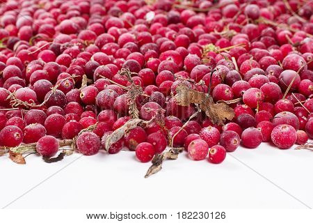 it is a lot of scattered frozen cowberry berries