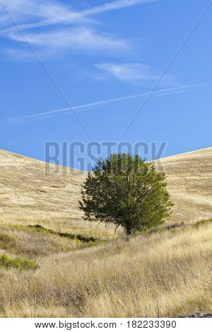 One tree in National Bison Range of Montana USA. Sanctuary created to protect American bison is part of the nation's Wildlife Refuge System. Vertical photography with copy space on blue sky.
