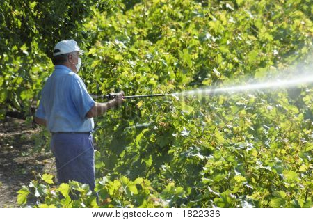 Spraying The Vines