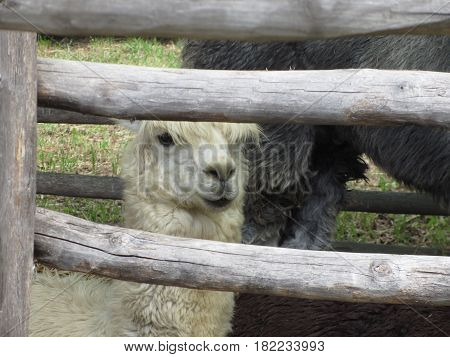 Alpaca ( Vicugna pacos ) looking out wooden fence