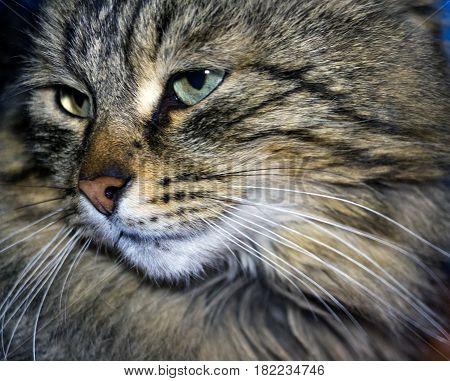 Cat muzzle closeup. Portrait of gray striped cat.