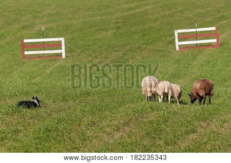 Stock Dog Watches Group of Sheep (Ovis aries) - at sheep dog herding trials