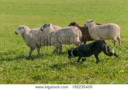 Stock Dog Runs with Group of Sheep (Ovis aries) - at sheep dog herding trials
