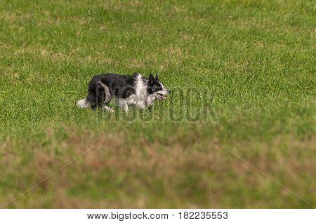 Stock Dog Stalks Right - at sheep dog herding trials