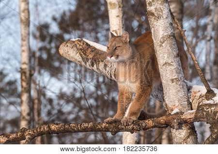 Adult Female Cougar (Puma concolor) Balances in Birch Tree - captive animal