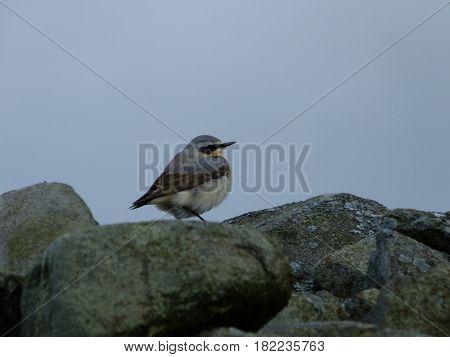 Male wheatear perched on rocks in moorland