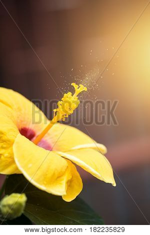 Hibiscus flower blooming with pollen spores powder spread in the air course of Flower Pollen Allergies or allergic diseases.