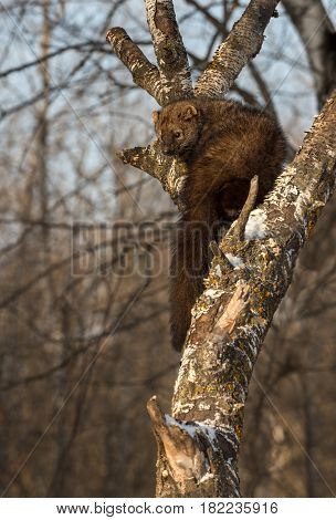 Fisher (Martes pennanti) Turns Left - captive animal