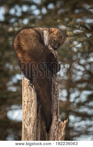 Fisher (Martes pennanti) Sniffs Curled Around Tree - captive animal