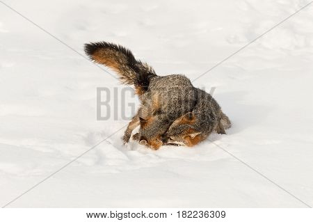 Grey Fox (Urocyon cinereoargenteus) Grabs at Other in Snow - captive animals
