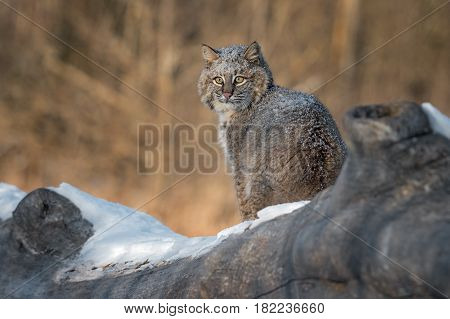 Bobcat (Lynx rufus) Sits on Log - captive animal