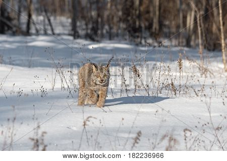 Canadian Lynx (Lynx canadensis) Walks Forward Through Snow - captive animal