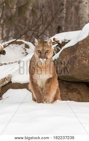 Adult Female Cougar (Puma concolor) Lifts Paw From Snow - captive animal