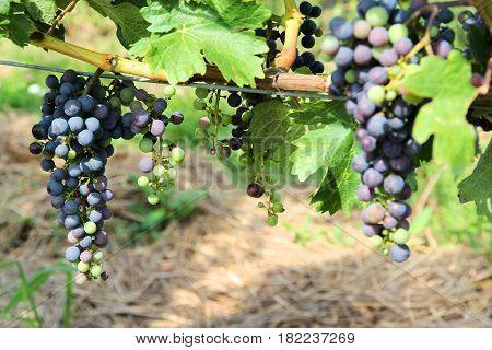 Grapes In Austria