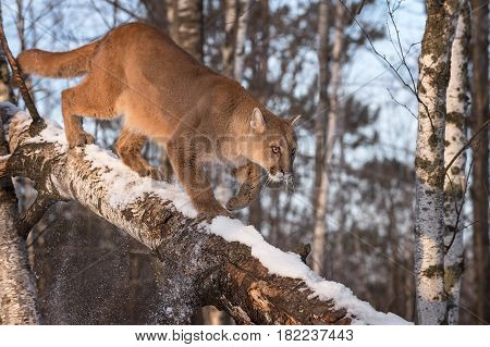 Adult Female Cougar (Puma concolor) Knocks Snow Off Branch - captive animal