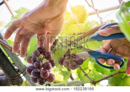 Harvester Hands Cutting Ripe Grapes On A Vineyard. Farmer Picking Up The Grapes During Harvesting.