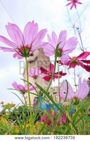 Beautiful pink daisy flowers in sentosa garden at Singapore