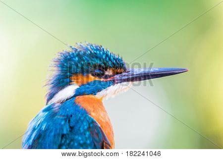 Portrait of beautiful male common Kingfisher (Alcedo atthis)