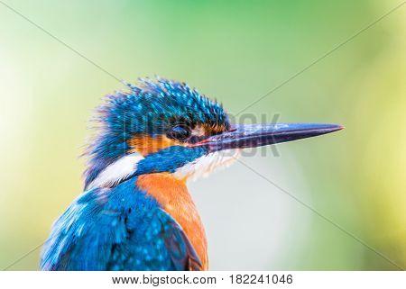 Portrait of beautiful male common Kingfisher (Alcedo atthis)