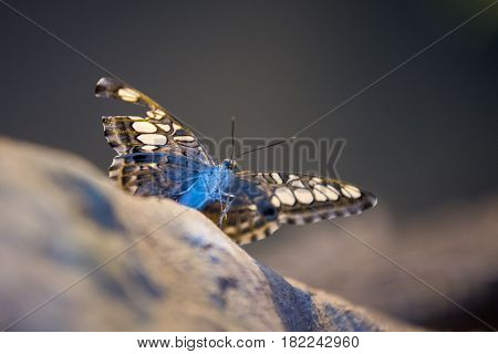 Close Up On Blue Batterfly With Broken Wings