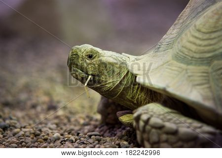 Close Up On Giant Tortoise (megalochelys Gigantea).