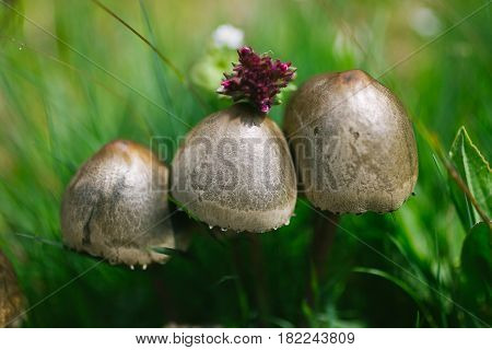 Wild mushrooms. Mushrooms in the forest. Mushrooms on green organic background. Wildlife in the woods. Closeup and macro view of wild mushrooms. Spring in the forest.