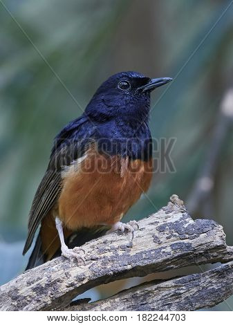 White-rumped shama (Copsychus malabaricus) resting on a branch with vegetation in the background