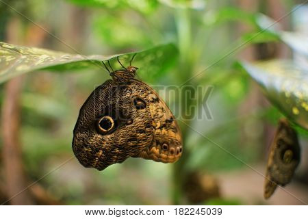 Close Up On Owl Butterfly (caligo Memnon)