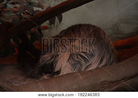 A sloth sleeping on a branch in the dark