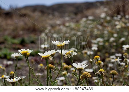 scene of a field with wild flowers in Lazarote.  In front of the picture there are ox-eye daisy