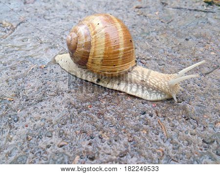 Snail crawling on wet surface. Wild animal closeup. Snail shell brown creature.