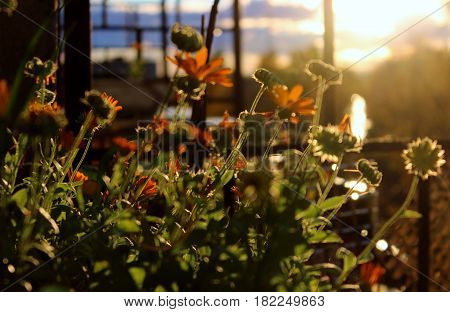 the bed of flowers in the sun, flowers in the sun, a flower bed of marigolds