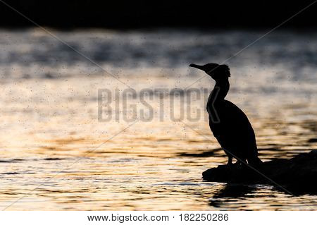 Cormorant (Phalacrocorax carbo) silhouetted with midges. Large fishing bird in the family Phalacrocoracidae surrounded by swarm of flies on the River Taff