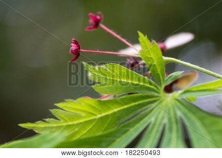 Cut-leaved Japanese maple (Acer japonicum 'Aconitifolium'). Red flowers and leaves of tree in the family Sapindaceae aka downy Japanese maple