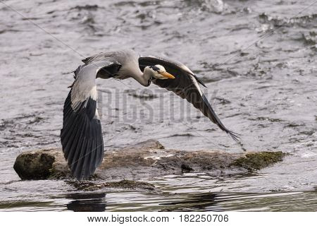 Grey heron (Ardea cinerea) in flight over river. Large bird in the family Ardeidae moments after taking flight