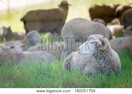 Dorset sheep male of sheep in rural farm.