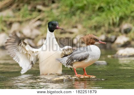 Goosander (Mergus merganser) pair. Sawbill ducks in the family Anatidae with crests and serated bills on the River Taff Cardiff UK