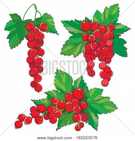 Vector set with outline Red currant, bunch, ripe red berry and green leaves isolated on white background. Ornate floral elements with redcurrant in contour style for summer or eco design.