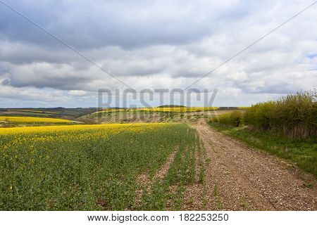 Yorkshire Oilseed Rape Crops