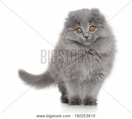 Scottish fold cat on a white background