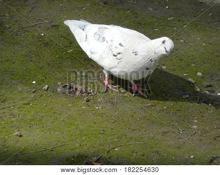 White dove looks askance. Portrait of a pigeon in the Park.