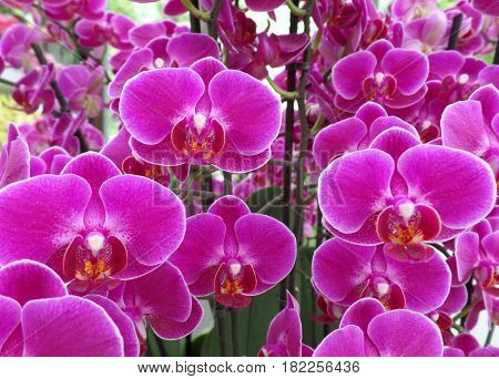 Bunch of shocking pink color blooming Orchid flowers, for background
